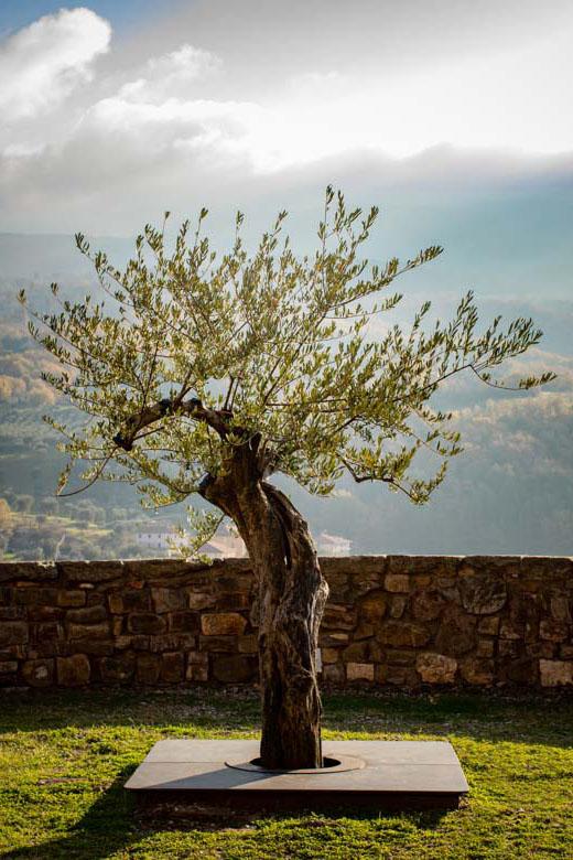 La Seggianese, Olivo sospeso
